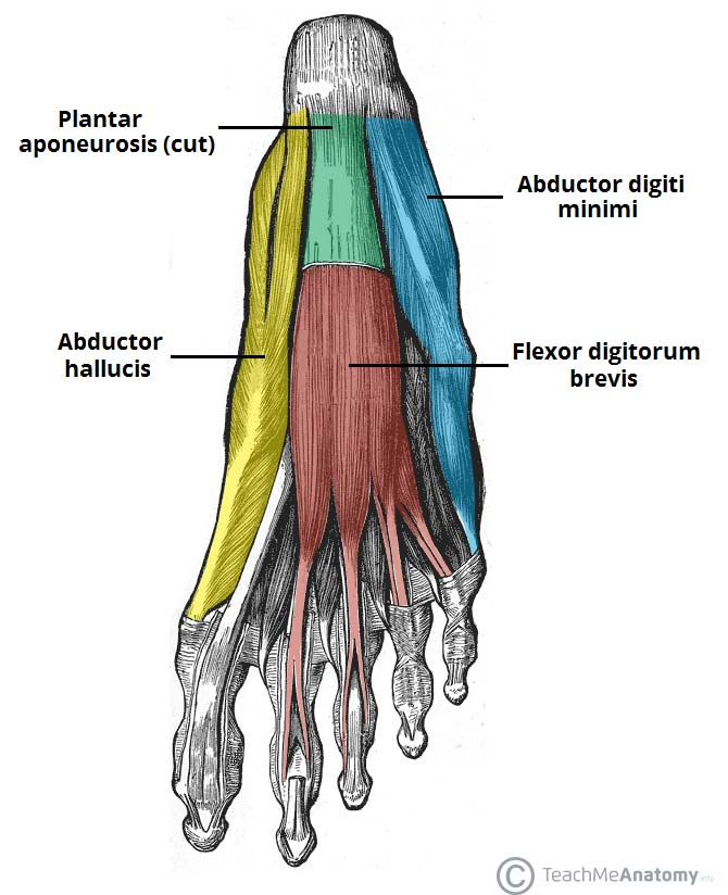 Muscles Of The Foot Dorsal Plantar Teachmeanatomy