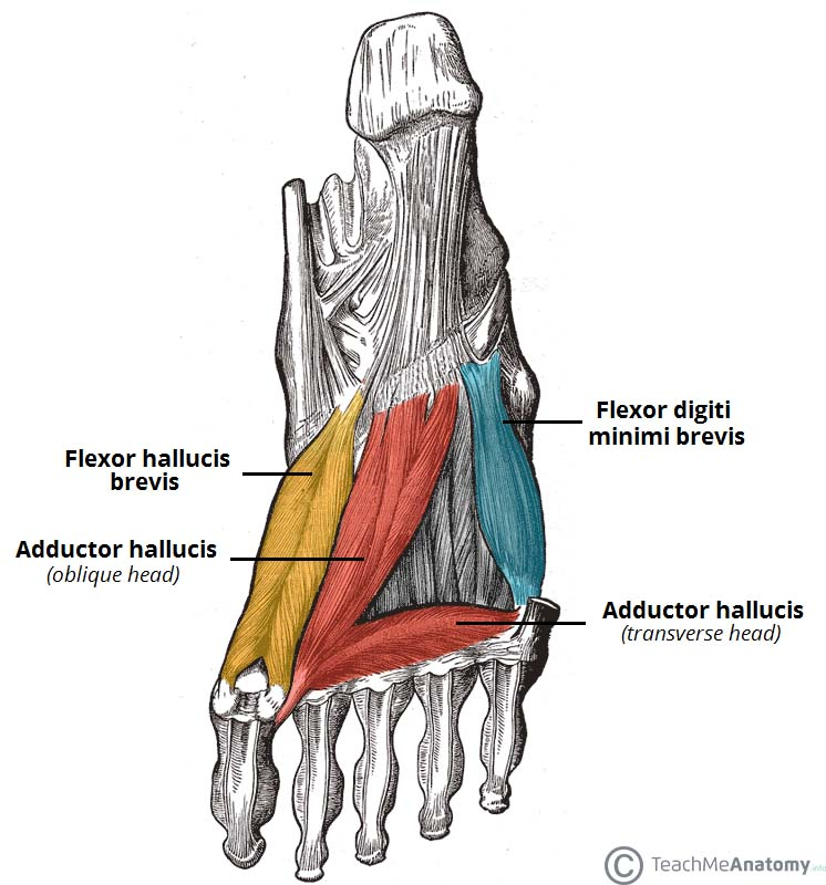 Fig 1.2 - The third layer of plantar muscles.