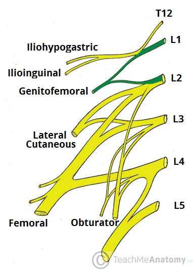 Fig 1.4 - Derivation of the genitofemoral nerve.