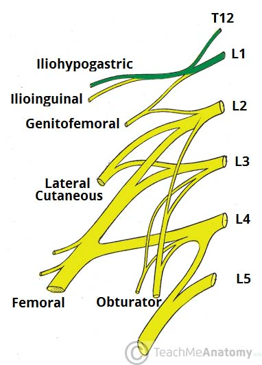 Fig 1.1 - Derivation of the iliohypogastric nerve.