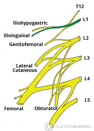 Fig 1.1 - Derivation of the ilioinguinal nerve.