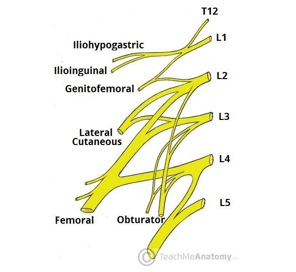The Lumbar Plexus - Spinal Nerves - Branches