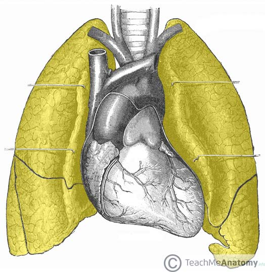 Fig 1.0 - Anatomical position of the lungs.