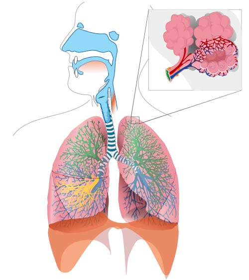 Fig 1.2 - The bronchial tree of the respiratory system.