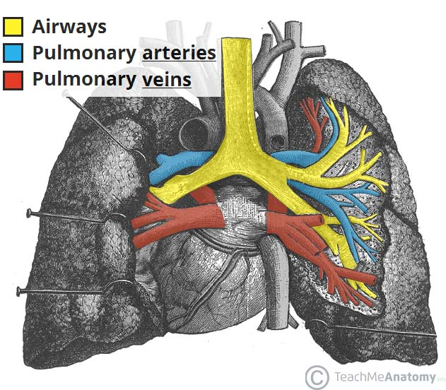 Fig 1.3 - The vasculature of the lungs. Note that the arteries carry deoxygenated blood, and the veins carry oxygenated blood.