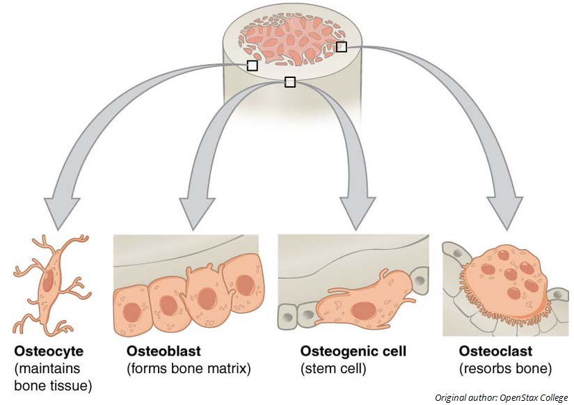 Fig 1.0 - Cellular components of bone and their functions.