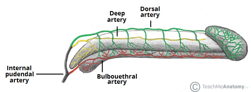 Fig 1.2 - Arterial supply to the penis.