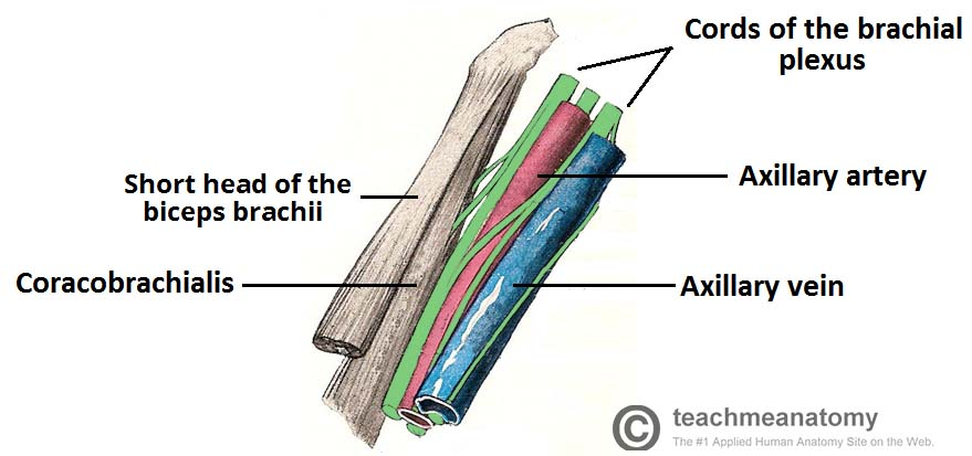 Fig 4 - Contents of the axilla region.