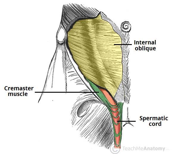 The Spermatic Cord Course Fascia Contents Teachmeanatomy