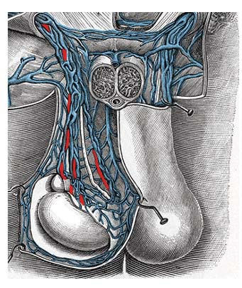 Fig 1.2 - The pampiniform plexus. Note how it surrounds the testicular artery.