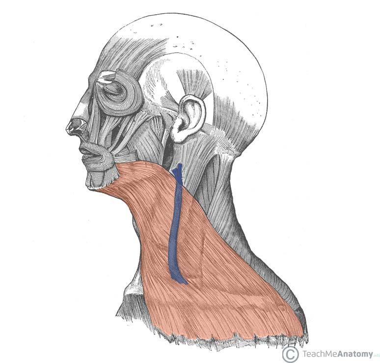 Fascial Layers Deep Superficial Teachmeanatomy