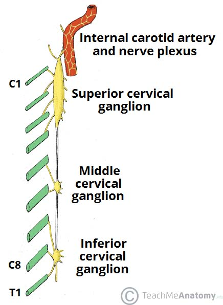 Fig 1.0 - The superior, middle and inferior cervical ganglia