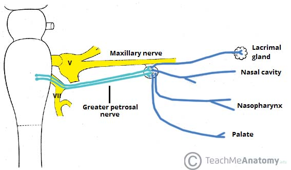 Fig3 - The pterygopalatine ganglion and its branches.