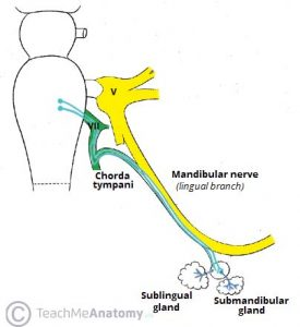 Fig 4 - The submandibular ganglion.