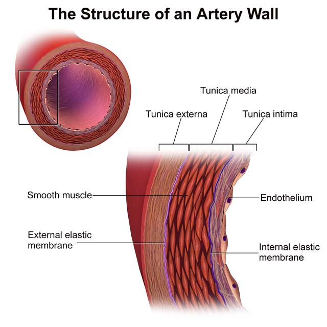 Fig 1.1 - The components of an artery wall.