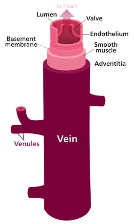Fig 1.3 - Structure of a vein wall.