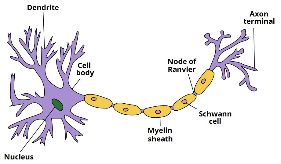 Fig 1.0 - The components of a typical neurone.