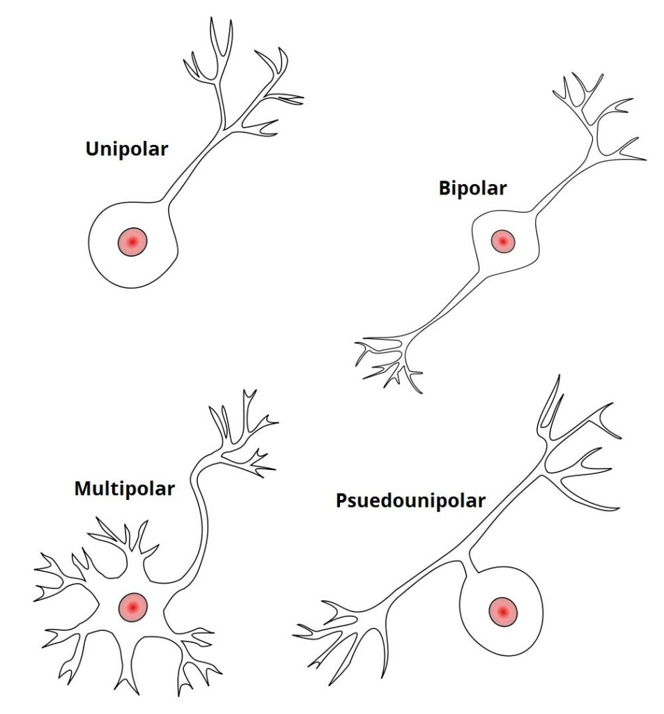 Fig 1.2 - Structural classification of neurones.