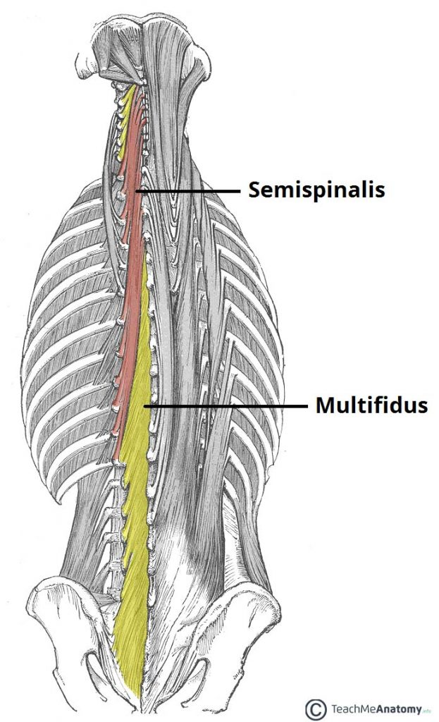 The Intrinsic Back Muscles Attachments Actions Teachmeanatomy