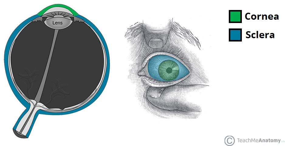 Fig 1.0 - The cornea and sclera of the eye.