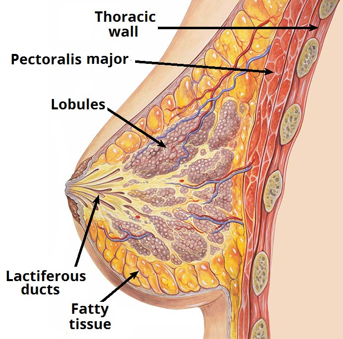 Fig 2 - The internal structure of the breast