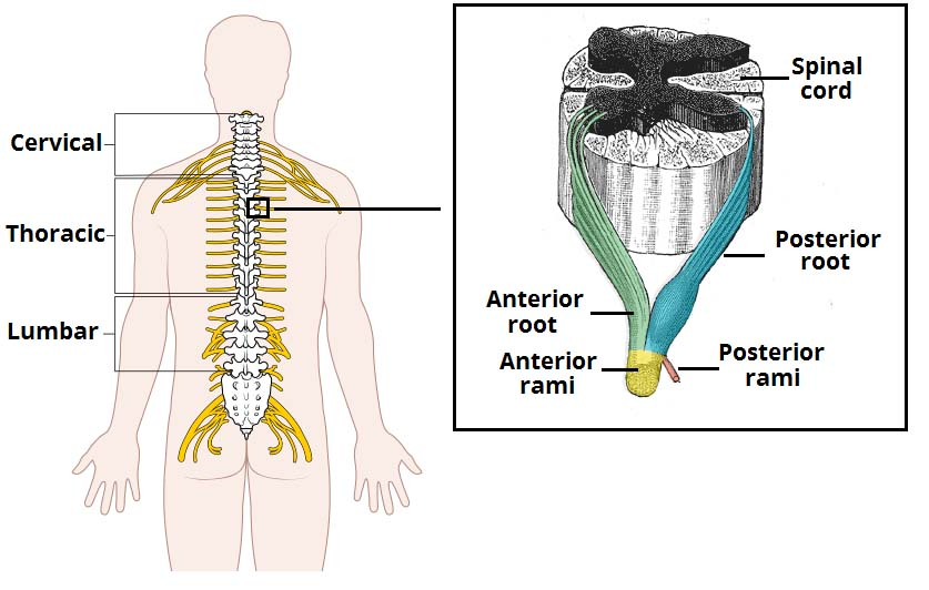 Fig 1.2 - The origin of the spinal nerves from the spinal cord.
