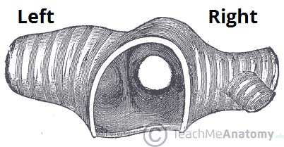 Fig 1.1 - Transverse section of the trachea, showing its bifurcation.