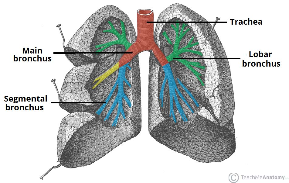 The Tracheobronchial Tree - Trachea - Bronchi - TeachMeAnatomy