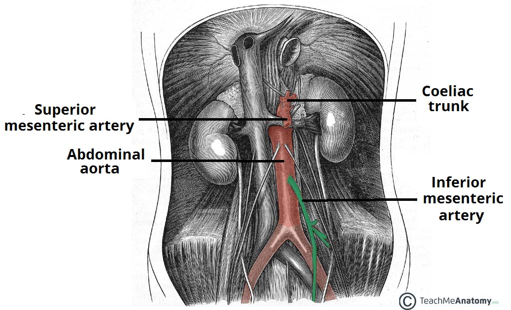 The Inferior Mesenteric Artery Position Branches Teachmeanatomy