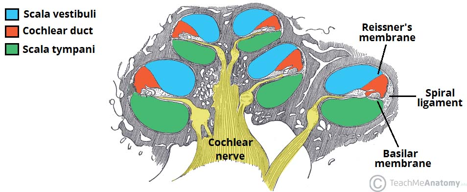 Fig 1.2 - Structure of the cochlea, and borders of the cochlear duct.