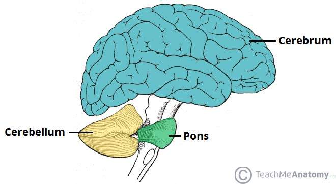 Fig 1.0 - Anatomical position of the cerebellum. It is inferior to the cerebrum, and posterior to the pons.