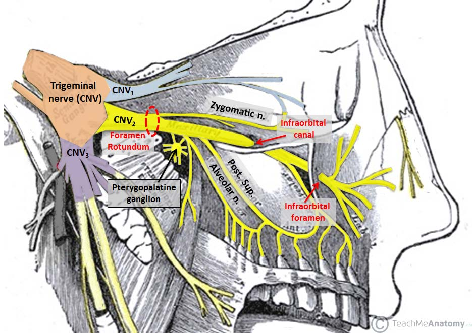 Fig 3.0 - The main trunk of the maxillary nerve (CNV2); showing the origin at the trigeminal nerve and its path to external facial structures.