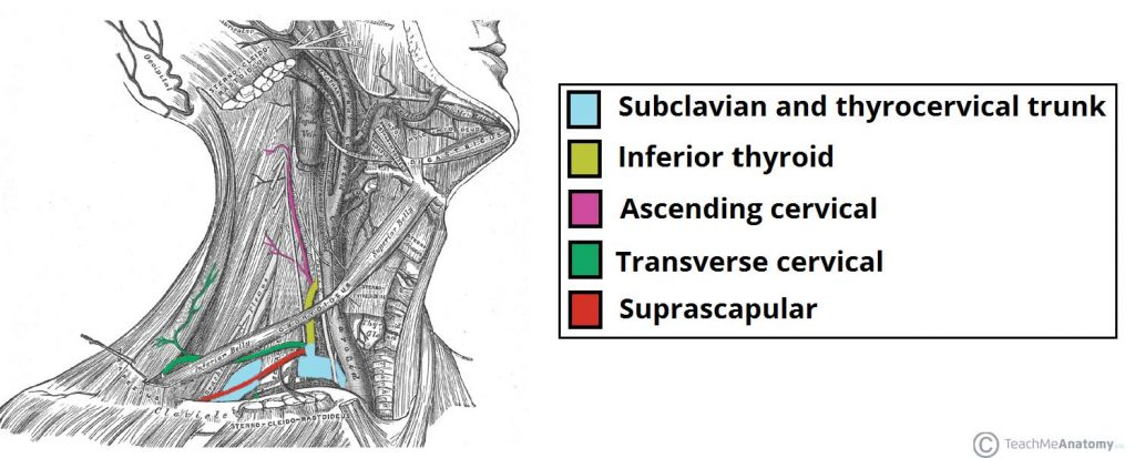 Fig 1.5 - Lateral view of the neck, showing the thyrocervical trunk