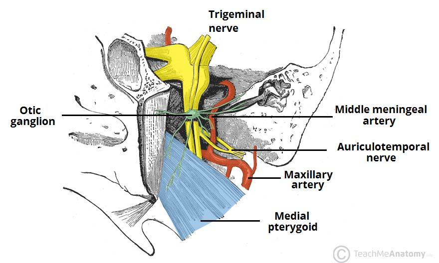The Infratemporal Fossa - Borders - Contents - TeachMeAnatomy