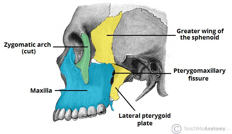 The Infratemporal Fossa Borders Contents Teachmeanatomy