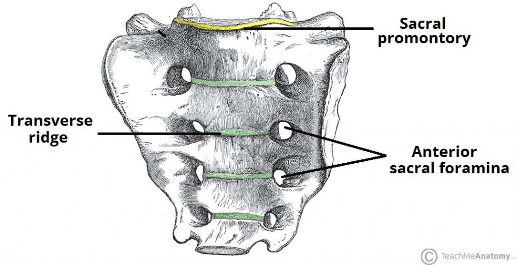 Fig 1.2 - The anterior or pelvic surface of the sacrum.