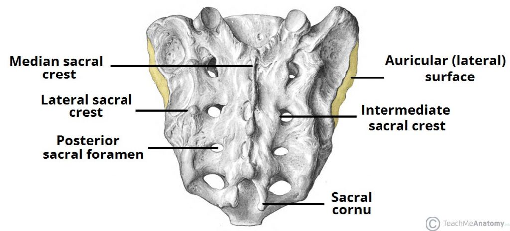 The Sacrum Landmarks Surfaces Relations Teachmeanatomy