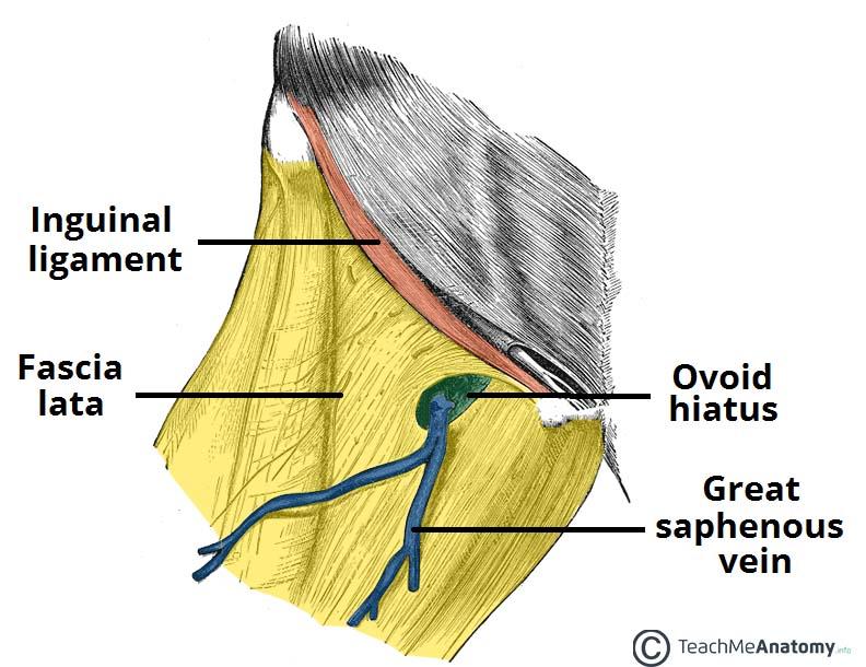 Fig 1.0 - The ovoid hiatus of the fascia lata.