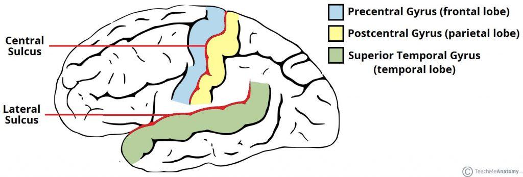 The Cerebrum Lobes Vasculature Teachmeanatomy