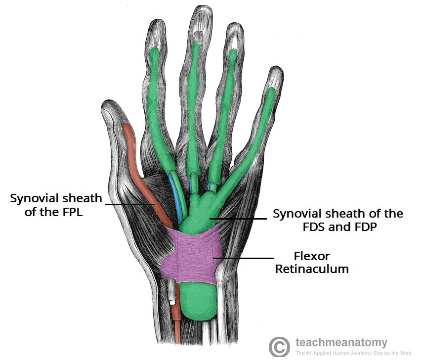 Structures of the Hand - Tendons - Ligaments - TeachMeAnatomy