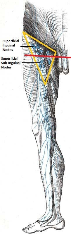 Lymphatic Drainage Of The Lower Limb Vessels Nodes Teachmeanatomy