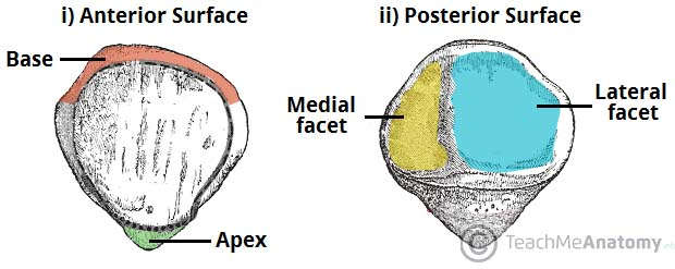 The Patella Surface Anatomy Functions Dislocation Teachmeanatomy