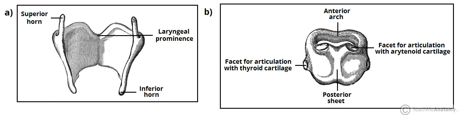 Fig 1.0 - Structure of the (a) thyroid cartilage and (b) cricoid cartilage.