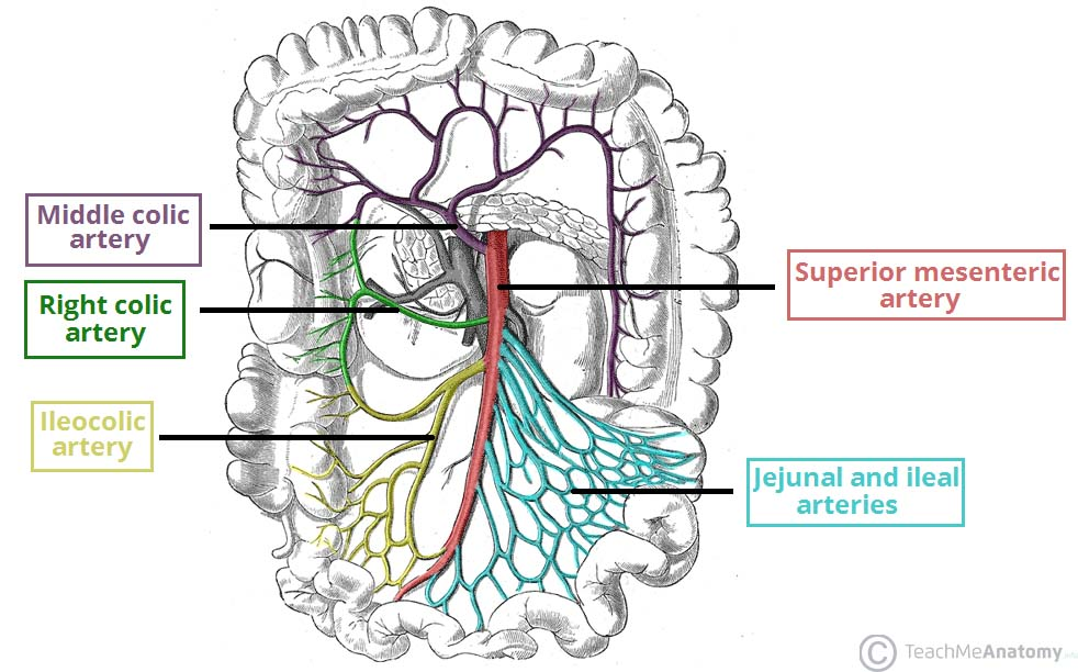 The Superior Mesenteric Artery Position Branches Teachmeanatomy