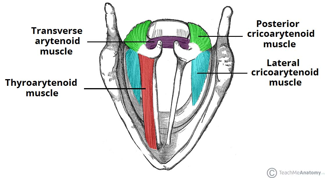 Muscles of the Larynx - Intrinsic - Extrinsic - TeachMeAnatomy