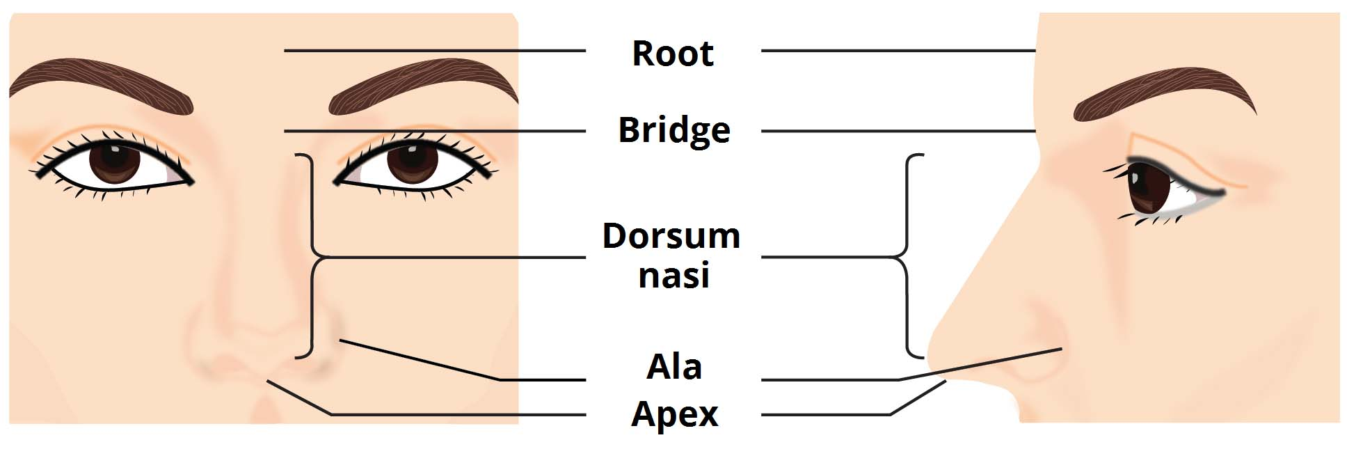 The External Nose - Muscles - Innervation - TeachMeAnatomy