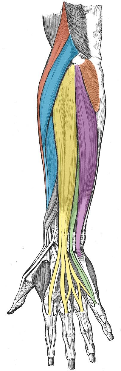 The Upper Limb Teachmeanatomy