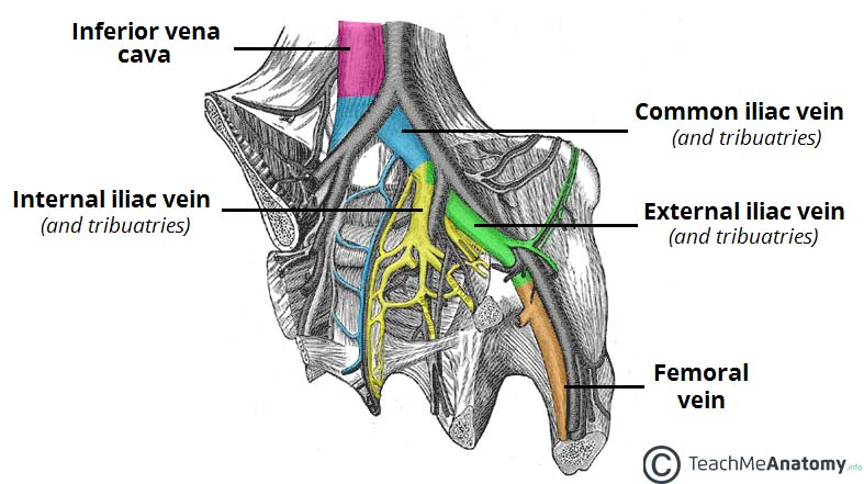 The Pelvic Veins External Internal Common Iliac Teachmeanatomy