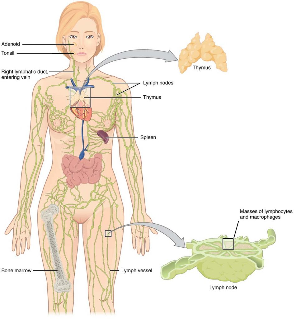 The Lymphatic System Vessels Nodes Organs Teachmeanatomy