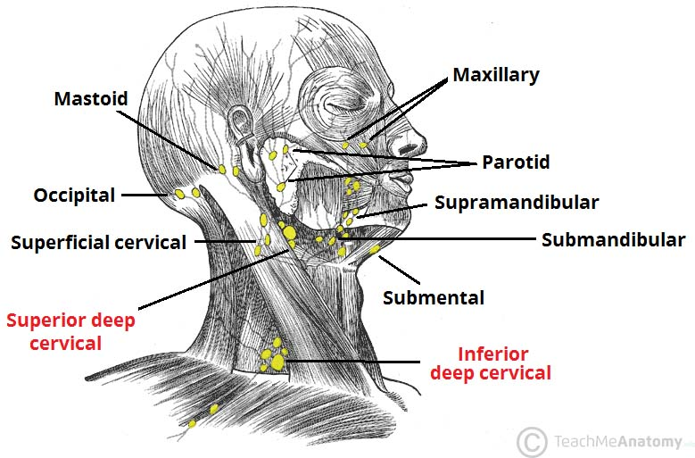 lymphatic drainage of the head and neck